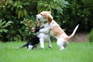 Puppy play training: Supervised play helps puppy learn good dog manners